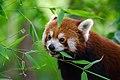 Red Panda (37500356661).jpg