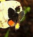 Red Pierrot Talicada nyseus UP by Dr. Raju Kasambe DSCN9202 (6).jpg