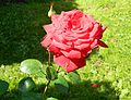 Red Rose flowers 02.jpg