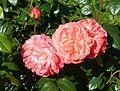 Red Rose flowers 15.jpg