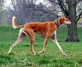 Red Smooth Saluki.jpg