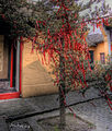 Red tree in Zhouzhuang.jpg