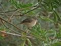 Redstart (Phoenicurus phoenicurus) - geograph.org.uk - 1036159.jpg