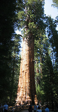 Redwood large sherman.jpg