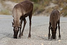 Reindeer licking salt from roadway.jpg
