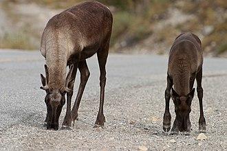 Migratory woodland caribou - Female and calf in British Columbia