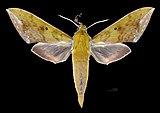 Rhagastis olivacea MHNT CUT 2010 0 250 Doi Inthanon Chiang Mai Thailand male dorsal.jpg