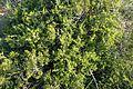 Rhamnus lycioides kz7.jpg
