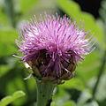 Rhaponticum scariosum ssp. rhaponticum-IMG 3541.jpg