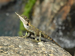 Rhino-horned lizard