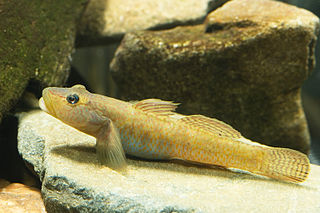 Goby common name of fish