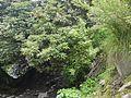 Rhododendron ¿ campanulatum ? (7786914916).jpg