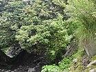 Rhododendron ¿ campanulatum? (7786914916).jpg