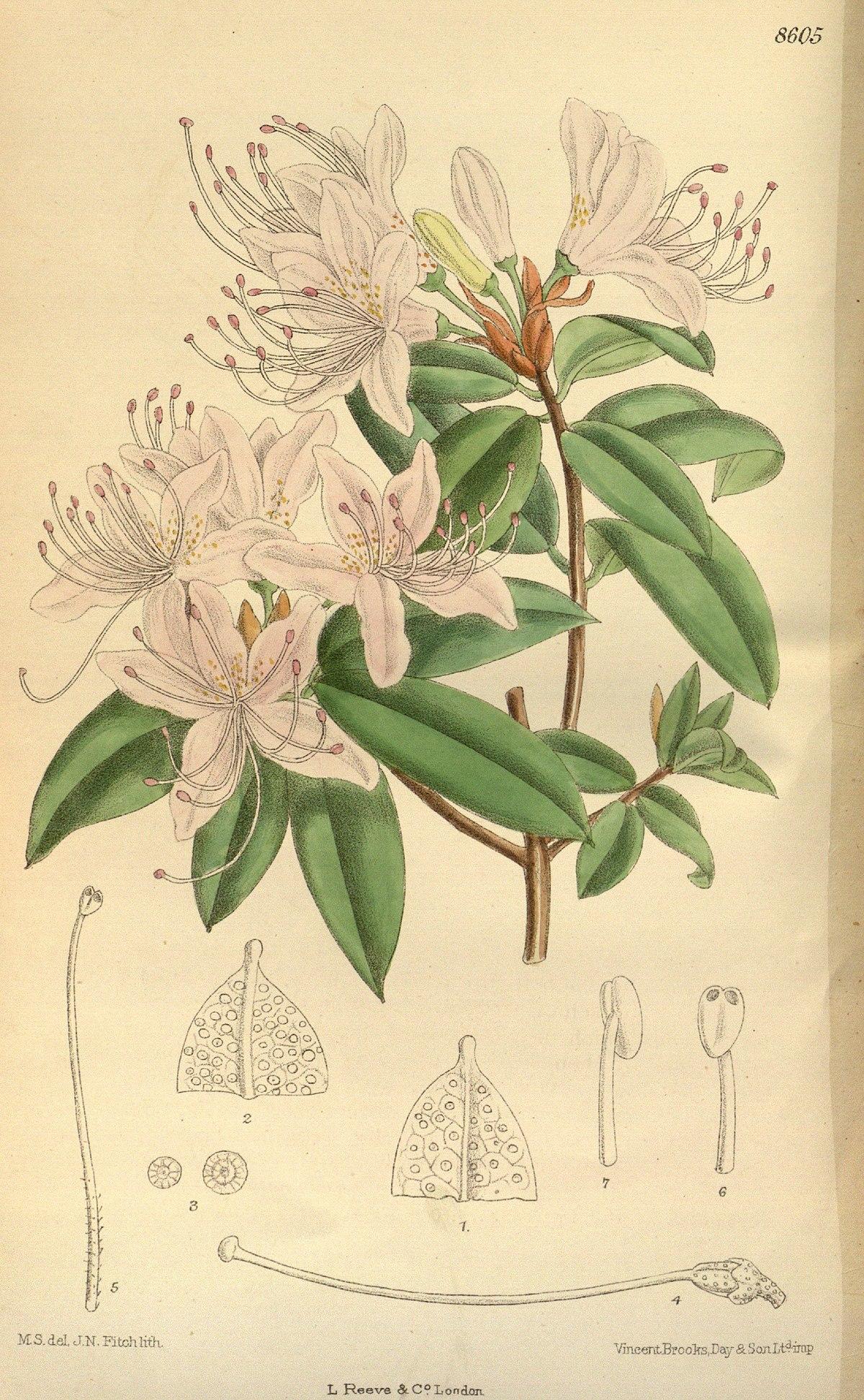 Rhododendron Davidsonianum Wikispecies