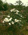 Rhododendron moulmainense 2.jpg