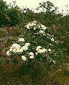 Rhododendron moulmainense 2.jpg