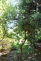 Rhododendron orbiculare - VanDusen Botanical Garden - Vancouver, BC - DSC06996.jpg