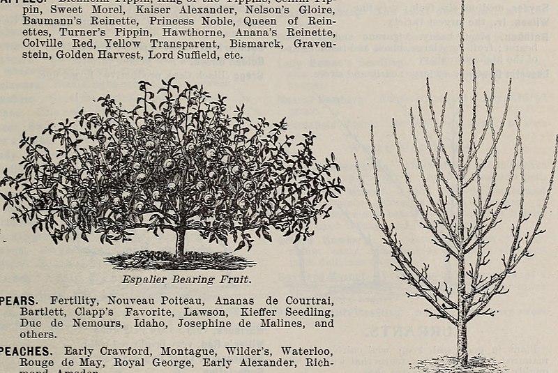 File:Rhododendrons, boxwood, azaleas, clematis, novelties, bay trees, hardy plants, evergreens - novelties bulbs, cannas novelties, palms, araucarias, ferns, vines, orchids, flowering shrubs, ornamental (20375963739).jpg