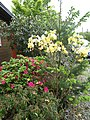 Rhododendrons-(vert,blanc,rouge).jpg
