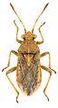 Rhopalus parumpunctatus ZSM.jpg