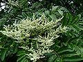 Rhus taitensis, flowering.jpg