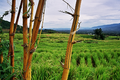 Rice Fields at Indonesia - EDIT.png