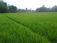 Rice Plant in Bangladesh.jpg