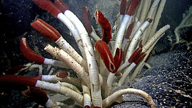 Riftia tube worms Galapagos 2011.jpg