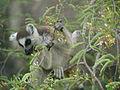 Ring-tailed Lemur (Lemur catta) feeding on tamarind leaves, Tsimanampetsotsa, Madagascar (4309671260).jpg