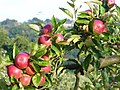 Ripening Apples, near Burwash - geograph.org.uk - 227543.jpg