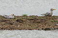 River Tern (Sterna aurantia)- Immatures W IMG 0108.jpg