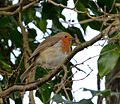 Robin - Flickr - gailhampshire.jpg