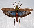 Romaleid Grasshopper (Tropidacris collaris) female (8390154134).jpg