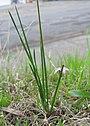 Romulea rosea plant8 (15282531846).jpg