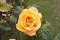 Rosa 'Fulton MacKay' IMG 4378.jpg