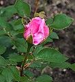 Rosa 'Mr. Darcy' (actm) 02.jpg