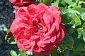 Rosa Amalia 1zz.jpg
