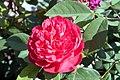 Rosa Benjamin Britten 1zz.jpg