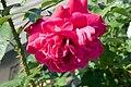 Rosa L.D. Braithwaite 1zz.jpg