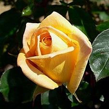 Rosa Oregold 2.jpg