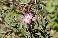 Rosa glauca inflorescence (21).jpg