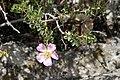 Rosa maracandica (Rosaceae) (33039097172).jpg