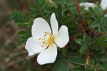 Rosa pimpinellifolia-01 (xndr).jpg