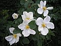Rosa spinosissima inflorescence (70).jpg