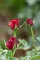 Rose, Konrad Henkel2.jpg