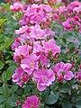 Rose, Lavender Meidiland, バラ, ラベンダー メイディランド, (15850846332).jpg