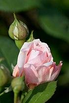 Rose, Masako(Eglantyne) - Flickr - nekonomania (3).jpg