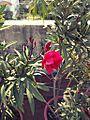 Rose222.jpg