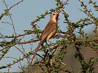 Rosy Patched Bush Shrike, Samburu NR, Kenya.jpg