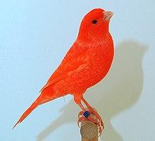 Extrem Rotfaktorige Kanarienvögel – Wikipedia QX37